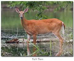 Cerf de Virginie / White-Tailed Deer IMG_8473 (salmo52 (En mode pause)) Tags: animal reddeer chevreuil whitetaileddeer faune odocoileusvirginianus cervidae cerfdevirginie rivirebulstrode salmo52 alaincharette