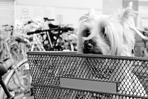 Yorkshire Terrier Waiting for Master