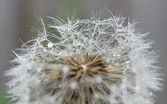 Wispy clocks (kaylo88) Tags: wild clock rain weed wind dandelion seeds raindrops wish wildflower wispy makeawish clockflower
