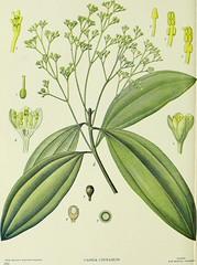 Anglų lietuvių žodynas. Žodis cinnamomum cassia reiškia <li>cinnamomum cassia</li> lietuviškai.
