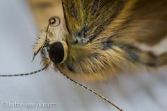 Moth (kitty van gemert) Tags: hairy brown detail macro gray moth insects macrodreams kittyvangemert