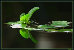 ...recto...verso... (fredf34) Tags: fleur canon eau vert powershot reflet zen feuilles bassin fredf powershots3is s3is canons3is canonpowershots3is rectoverso s3iscanon fredf34 3ispowershot fredfu34