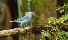 Blue-gray Tanager (ashahmtl) Tags: bird ecuador province tanager bluegray thraupisepiscopus mindopichincha