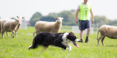 38°C (100F) And Going For It! (Explore 20140721) (Bas Bloemsaat) Tags: dog dogs sheep action shepherd sheepdog trial herding