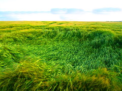 the wind that shakes the barley (museque) Tags: