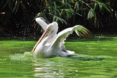 DSC_1052-2-2 (Mauroc66) Tags: natura uccelli animali oasi pellicano costantin