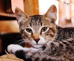 Occhi .. a mandorla (stefaniazucca) Tags: colori gatto sedia muso contrasto zampe baffi orecchie