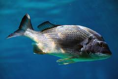 Blue Heaven (ChemicalKat) Tags: fish australia cannon