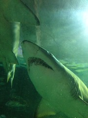 Grey Nurse Shark (orange27) Tags: shark sydney australia newsouthwales oceania greynurseshark manlysealifesanctuary