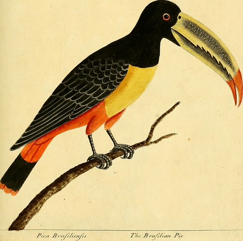 """Image from page 88 of """"A natural history of birds : illustrated with a hundred and one copper plates, curiously engraven from the life"""" (1731)"""