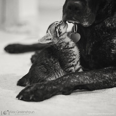 Tenderness (alexgphoto) Tags: family friends blackandwhite bw rescue dog baby pets cute love parenthood monochrome animals cat canon 50mm paw hug kitten feline kiss soft mood friendship affection sweet small mother adorable kitty atmosphere kittens canine depthoffield kind foster together tiny kindness moment care delicate motherhood tender connection tenderness gentle adoption timing primelens canon60d