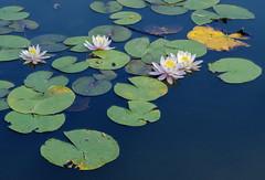 Flowers And Lily Pads On Local Pond (grahambrown1965) Tags: flowers flower water pond lily pentax pad 100mm lilypads lilypad pads justpentax pentaxart smcpentaxdfamacro100mmf28wr pentaxk5iis k5iis