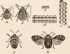 Anglų lietuvių žodynas. Žodis southern cabbage butterfly reiškia pietų kopūstai drugelis lietuviškai.