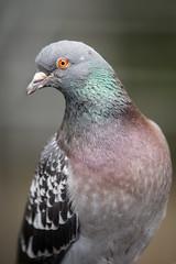 2014-08-24-09h41m39.BL7R8125 (A.J. Haverkamp) Tags: amsterdam zoo pigeon misc thenetherlands artis dierentuin duif canonef70200mmf28lisusmlens httpwwwartisnl