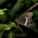 Lawachara Butterfly