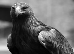 CFR0196_bn (Carlos F1) Tags: life parque wild portrait bird animal spain nikon natural eagle retrato aves raptor vida ave prey pajaro cantabria falconry pájaro aguila rapaz d300 cabárceno salvaje cetreria