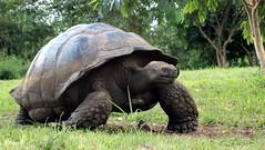 Giant Galapagos Tortoise (maryclairey) Tags: santacruz tortoise galapagos