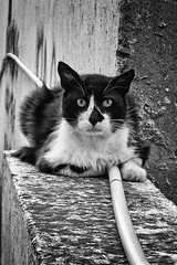 cat- (big andrei) Tags: street leica bw animal wall cat pipe compact dlux4