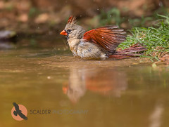 Female Northern Cardinal birdbath (scalderphotography) Tags: bird water female wings birdbath texas feathers waterdroplets cardinaliscardinalis femalecardinal splashing cardinalis northerncardinal birdphotography lowerriograndevalley scalderphotography sandracalderbank