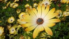African Daisy (Mrs Airwolfhound) Tags: flower macro yellow gardens pentax sunny daisy africandaisy rhs