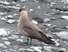 Jokusarlon : labbe parasite (elcoincoin1) Tags: bird iceland jaeger artic parasite islande parasitic skua labbe jokusarlon parasiticus stercorarius