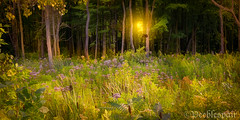 INTO THE WOODS {Explore} (Peeblespair) Tags: bird fairytale woodland golden woods glow photograph wildflowers sunflare peeblespairphotography