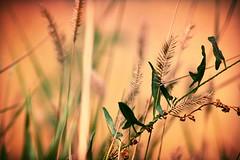 Native Grass (Shaun McCullough) Tags: macro nature westminster grass closeup outdoors colorado prairie tallgrass nativegrass