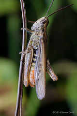 grasshopper (D.Slaven) Tags: macro closeup bug tube grasshopper extension nikkor50mmf20ai nikond5100