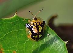 Mottled Tortoise Beetle (Deloyala guttata) (RMIngramPhotos.com) Tags: nature insects beetles macrophotography nikonphotography mottledtortoisebeetle mottledtotoisebeetledeloyalaguttata