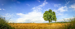 20th August 2014 (Bosworth Oak) Tags: tree english landscape countryside timelapse oak quercus seasons leicestershire iphone bosworth robur