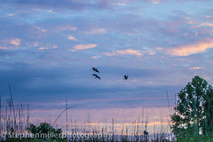 Canadian Greece in the Morning (stephenmillerphotography) Tags: morning light sky bird beautiful sunrise flying geese flight goose