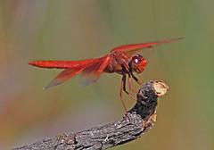 Flame Skimmer (Libellula saturata) (Ron Wolf) Tags: california nature dragonfly wildlife odonata libellulidae insecta mrosd skylineridgeopenspacepreserve flameskimmer libellulasaturata