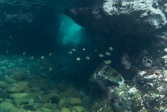 DSC_5184.jpg (d3_plus) Tags: sea sky fish beach japan scenery diving snorkeling  cave shizuoka   j1  izu  sergeantmajor  bluegrotto   skindiving minamiizu       nikon1  hirizo   nakagi fivebandeddamselfish nikon1j1 1nikkor185mmf18  beachhirizo misakafishingport  fivebandeddamselfishyg yg