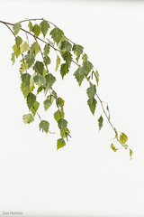 Silver Birch (Sue_Hutton) Tags: autumn leaves garden framed twig elegant shape curved silverbirch mistymorning september2014