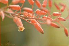 Pink forever (Abhi Gautam) Tags: pink flower macro nature nikon 100mm tokina tulsa d5200