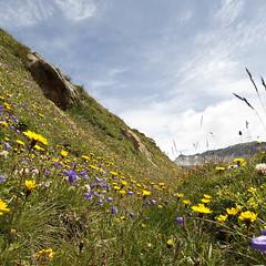 In Alps (Pavel Vanik) Tags: mountains alps flower canon schweiz switzerland suisse swiss meadow 7d alpen alpi wallis valais galm 1018is