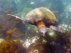 Black Sea Turtle (Baractus) Tags: sea black green john pacific turtle galapagos punta moreno isabela oates angelito