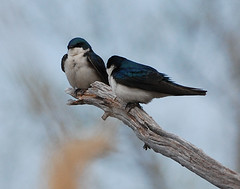 """Tree swallows • <a style=""""font-size:0.8em;"""" href=""""http://www.flickr.com/photos/75865141@N03/15093567376/"""" target=""""_blank"""">View on Flickr</a>"""