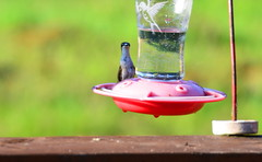 Hummingbird [Bancroft - 7 August 2014] (Doc. Ing.) Tags: wild summer ontario canada nature birds animals hummingbird northamerica bancroft on 2014