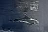 Risso's dolphin (riccardo.chiarini) Tags: animals dolphin g mary risso delfino rissos grampo