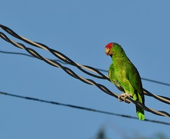 Bird (Parrot) on a Wire (Susan Colosimo) Tags: parrot amazonaviridigenalis wildparrot redcrownedamazon redcrownedamazonparrot redcrownedamazonparrotwild