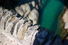ponte dei salti . verzasca (Toni_V) Tags: bridge river schweiz switzerland tessin ticino europe dof suisse bokeh rangefinder svizzera m9 2014 svizra verzasca summiluxm valverzasca 35mmf14asph lavertezzo verzascatal pontedeisalti 35lux messsucher ©toniv 140828 leicam9 l1018512