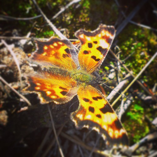 A Green Comma butterfly suns itself, lovely #fall day in #yxy #Yukon