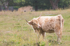 Scottish Highland Cow 9-20-14 (gingerworm) Tags: flowers flower cute field grass animal canon cow cattle pasture photoaday 365 animalplanet dailyphoto lightroom photooftheday minutemannationalhistoricpark 70300l 365photos canonef70300 canon6d