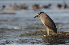 Bihoreau gris - Black-crowned night Heron (Monique Coulombe) Tags: nature wildlife nationalgeographic blackcrownednightheron nycticoraxnycticorax wildbirds bihoreaugris oiseauxmigrateurs fauneduquébec oiseauxduquébec naturesauvage oiseauxsauvages birdinginthewild birdsofquebec quebecwildlife québecnaturesauvage nikond7100 moniquecoulombe