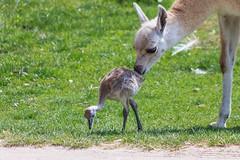 Verry intresting (Bodyl) Tags: animal denmark mammal rheaamericana dnemark tier vogel nandu guanaco greaterrhea kamele camelid struthioniformes sugetier ratite camelid