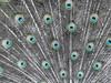 Magnolia Plantation & Gardens, Charleston, South Carolina (nadine3112) Tags: tiere charleston vögel plantage pfau colorkeying magnoliaplantationgardens