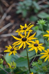 November Flowers (Neal D) Tags: washington bellingham squalicumharbour flower flowers blossom blossoms blackeyedsusan