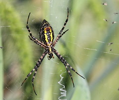 Black and Yellow Garden Spider at Winding Waters Trail [Explore 23] (Tombo Pixels) Tags: blackandyellowgardenspider black yellow garden spider windingwaters160121 argiopeaurantia windingwaters wallkill ny newyork twb1 naturewalk2016 explore explored