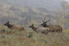 "Elk (Cervus canadensis) (Gregory ""Slobirdr"" Smith) Tags: elkcervuscanadensis wapiti grandtetonnationalpark yellowstonenationalpark jacksonhole rut elkbull naturalistjourneys gregoryslobirdrsmith"